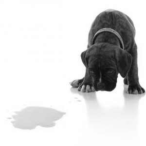 punishemnt-not-effective-puppy-boxer-pee-urinate-accident
