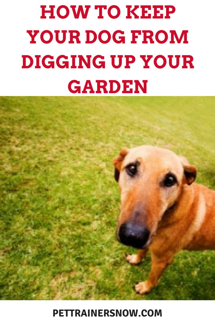 Stop dog from digging adventures of a gsp hunting dog for How to protect your garden from animals