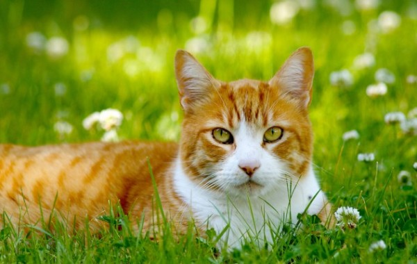 FIV (Feline Immunodeficiency Virus)