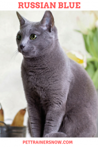 Russian-blue-pettrainersnow