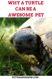 turtle-can-be-awesome-pet
