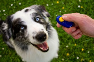 DJ1PP3 Australian Shepherd Clicker-training ault dog