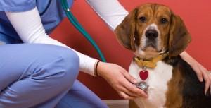 dog-beagle-at-a-vet-with-nurse-checking-heart-beat