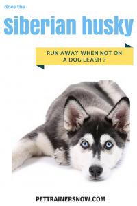 Do-Siberian-Huskies-Always-Run-Away-When-Not-On-Dog-Leash
