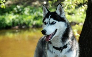 pettrainersnow.com - Do Siberian Huskies Really run away when their not on a dog leash ?