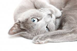 Close-up photo of the gray pussy cat laying
