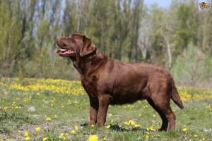 all-about-the-labrador-retriever-5217852cd73a4